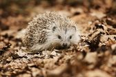 Photo Hedgehog in the fallen leaves