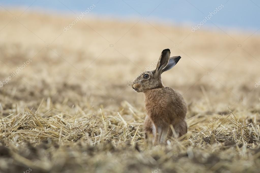 Brown hare in the field