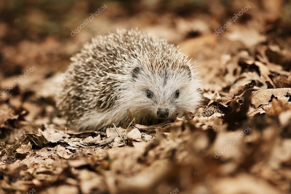 Hedgehog in the fallen leaves