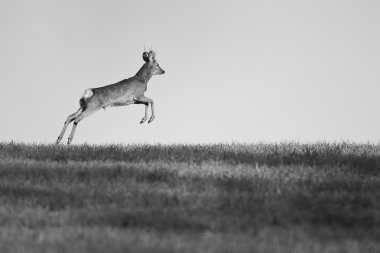 European roe buck running in the meadow