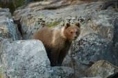 Brown Bear cub among rocks waiting for return of  mother bear