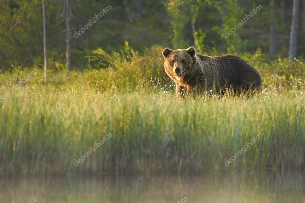 big wild male brown bear staring directly at camera