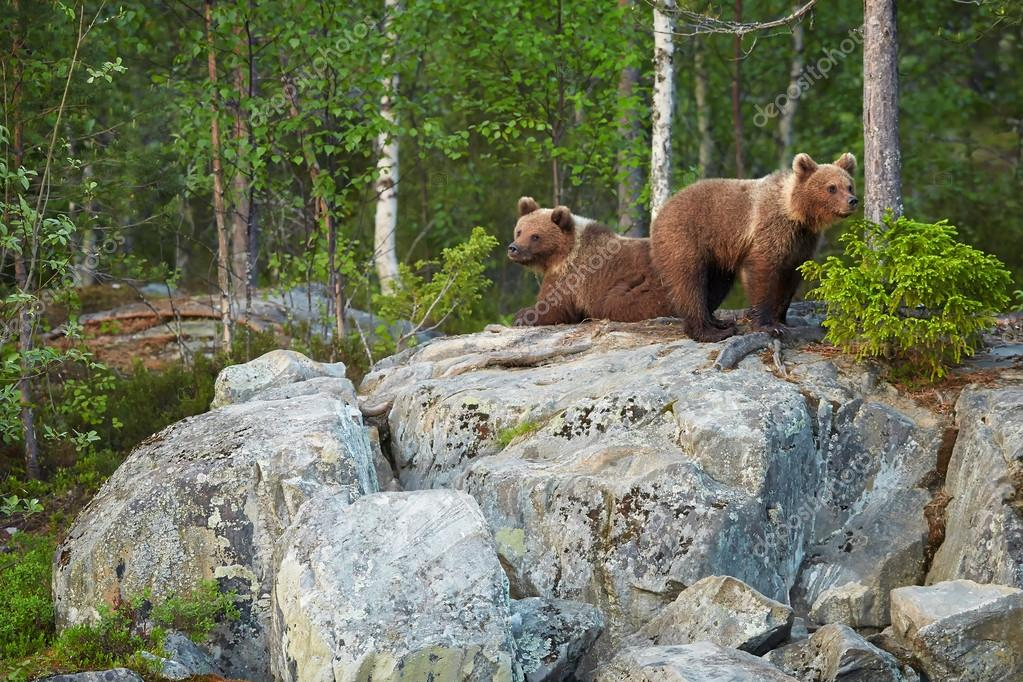 Two Brown Bear cubs on rocks waiting for return of the mother bear
