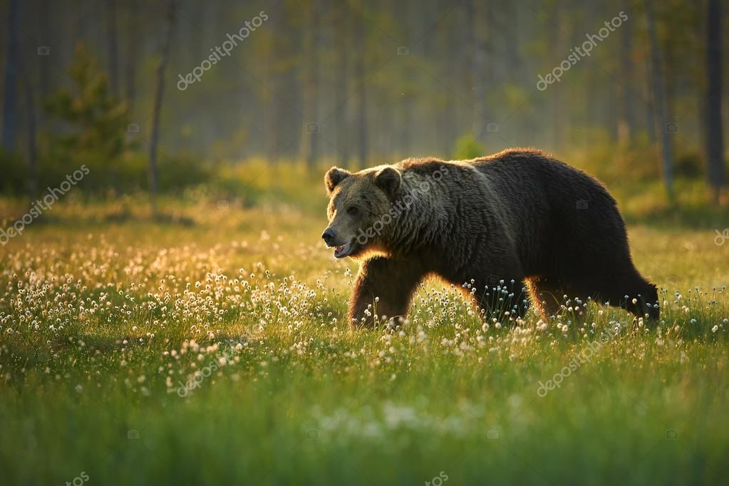 Wild big male brown bear in the flowering grass