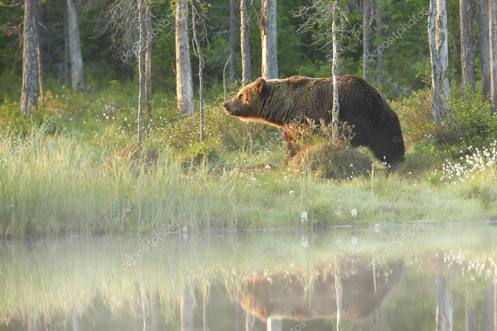 Wild big male brown bear reflecting in the water surface