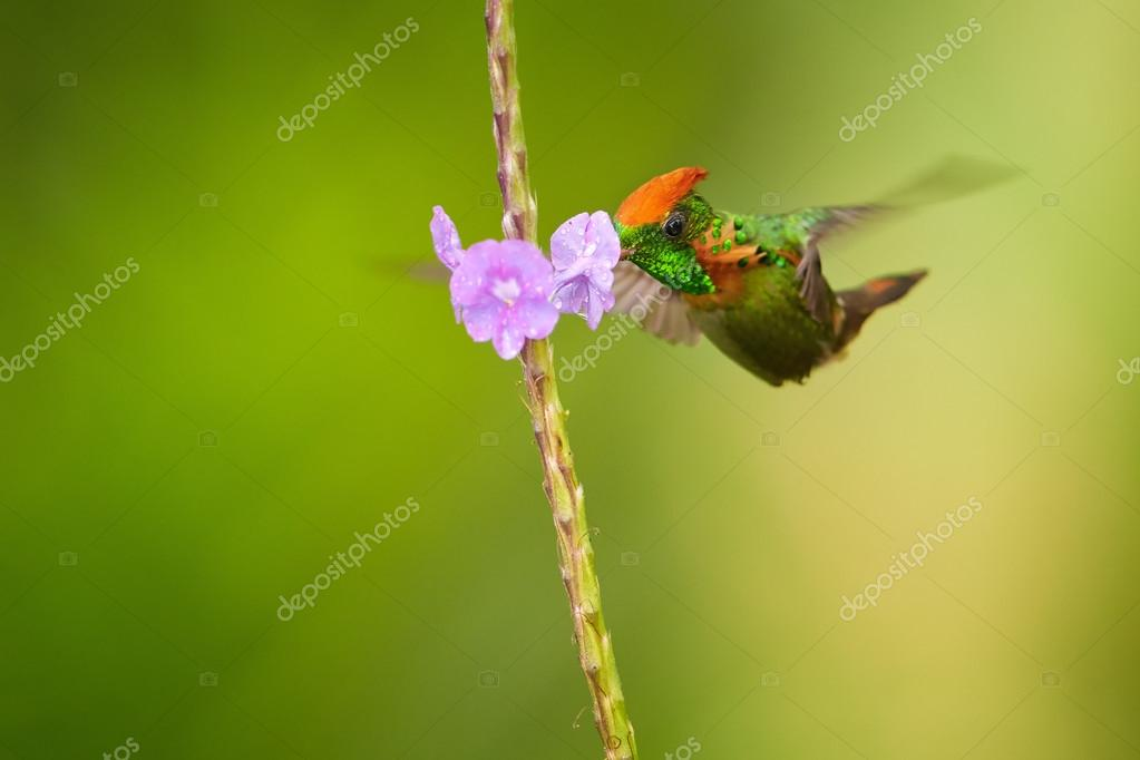 Beautiful orange crested and coppery green  hummingbird Tufted Coquette