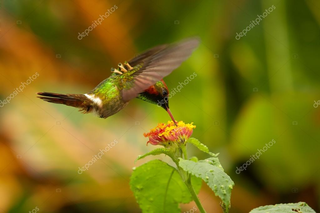 Hummingbird Tufted Coquette Lophornis ornatus feeding from lantana flowers