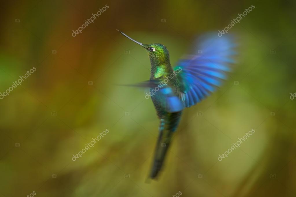 Hummingbird Great Sapphirewing Pterophanes cyanopterus male in flight
