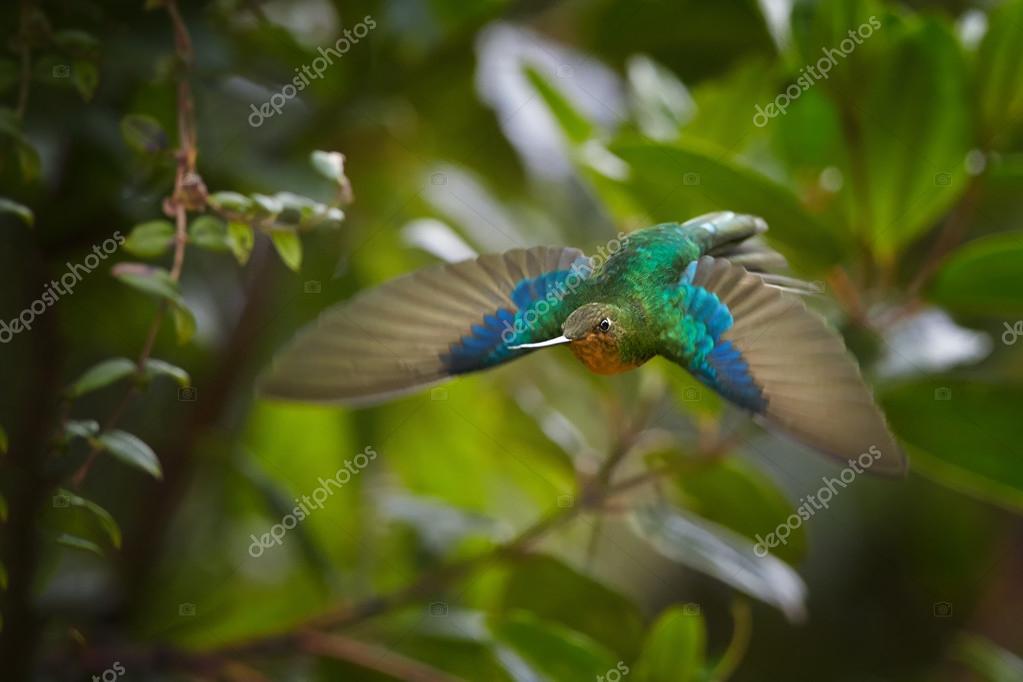 Great Sapphirewing Pterophanes cyanopterus female