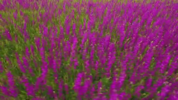 Letecký pohled na velké oblasti krásné fialové květy kosatce