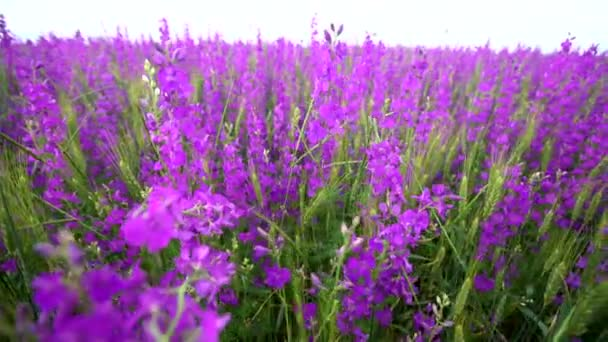 large field of beautiful purple flowers irises. shoot with slider