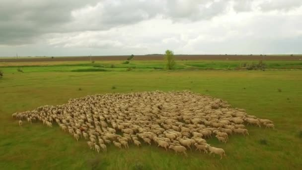Huge flock of sheep grazing in green field landscape. aerial view of nature scenery