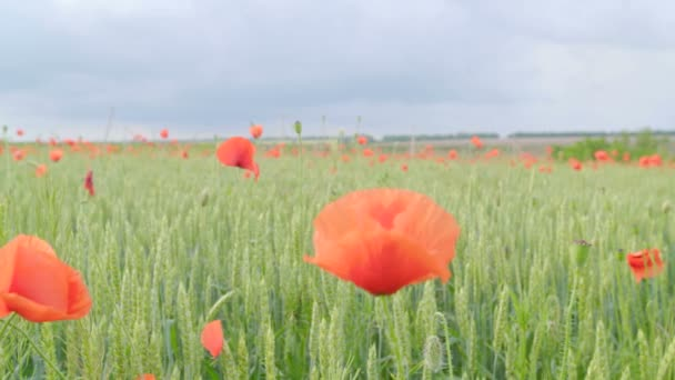 Obrovské pole kvetoucí. Makové pole. Kvetoucí pole