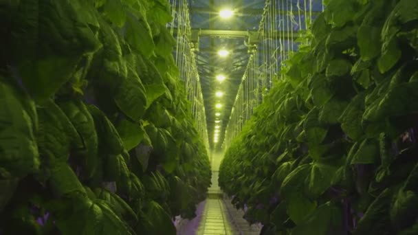Uvnitř skleníku s sazenice