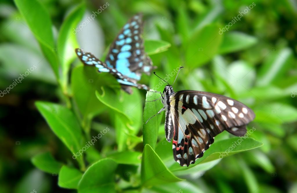 La farfalla comune di jay u2014 foto stock © lewzsan.gmail.com #115237738