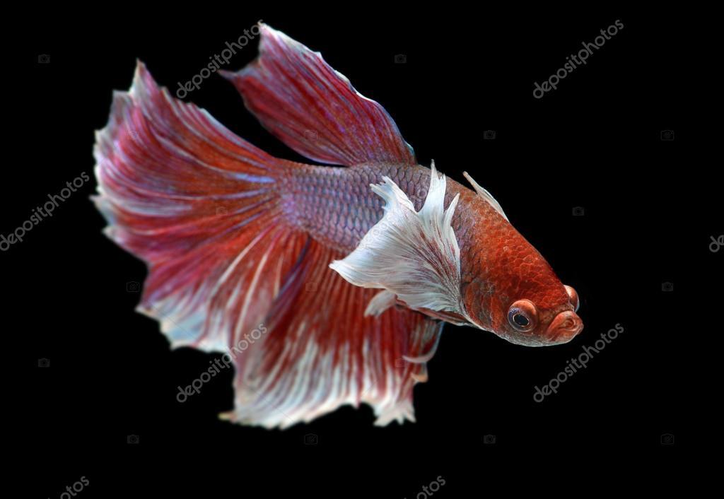 Betta fish or siamese fighting fish stock photo for Betta fighting fish