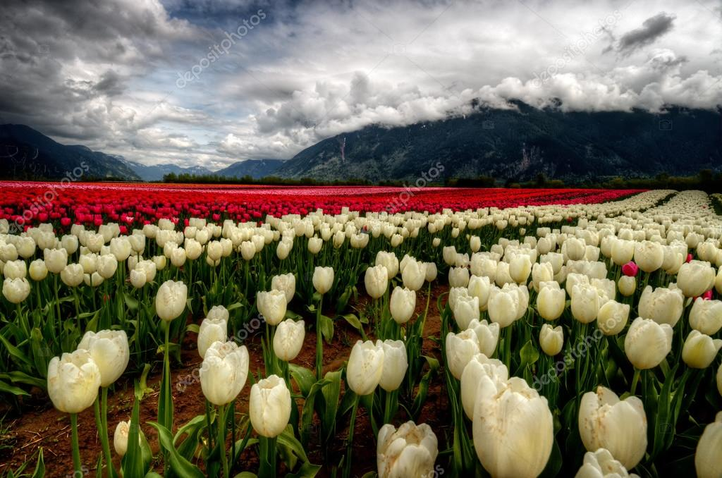 cream and red colored tulips