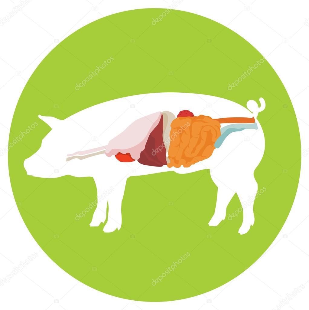 Vektor-Schwein-Anatomie. Verdauungssystem — Stockvektor © labitase ...