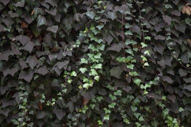 Green ivy Hedera