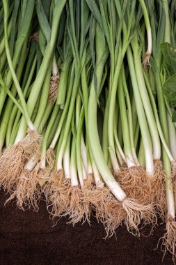 Green spring onions with roots
