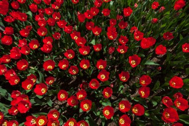 Many red tulips in garden