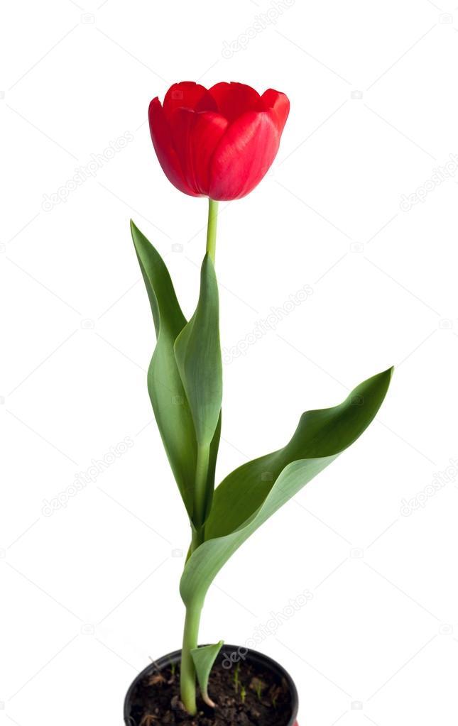 rojo tulipán en maceta — fotos de stock © koraysa #95077808
