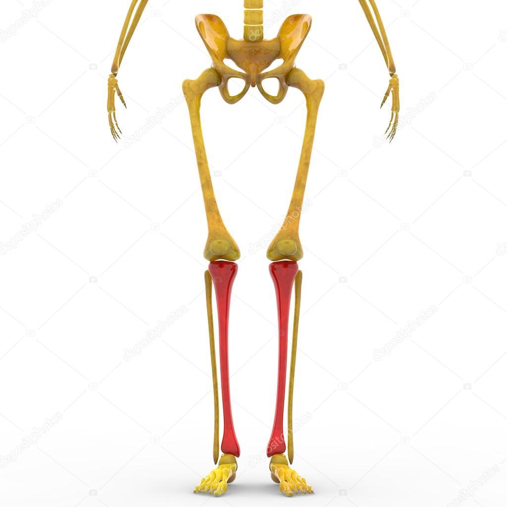 Menschliches Skelett Schienbein Knochen — Stockfoto © magicmine ...