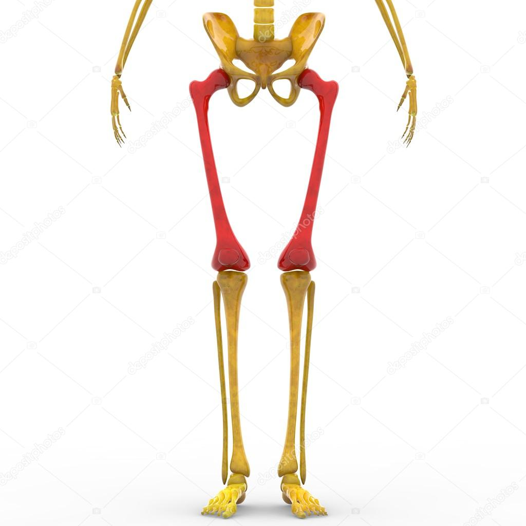 Menselijk skelet bovenbeen en Patella botten — Stockfoto © magicmine ...