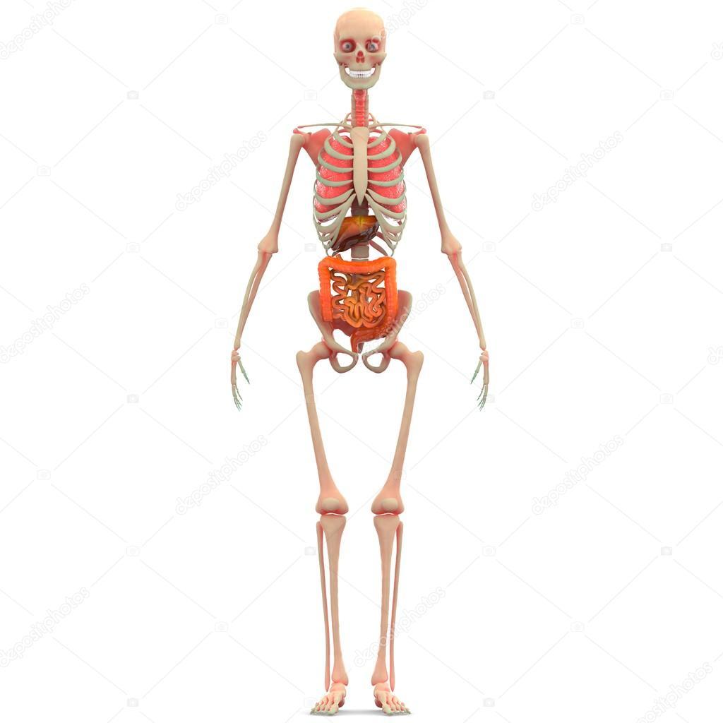 Humanos esqueletos pulmones, intestino, hígado, grande y pequeño ...