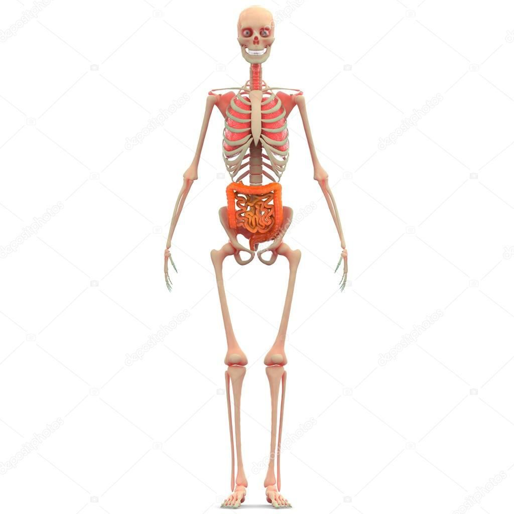 Human Skeleton Lungs, Large and Small Intestine — Stock Photo ...