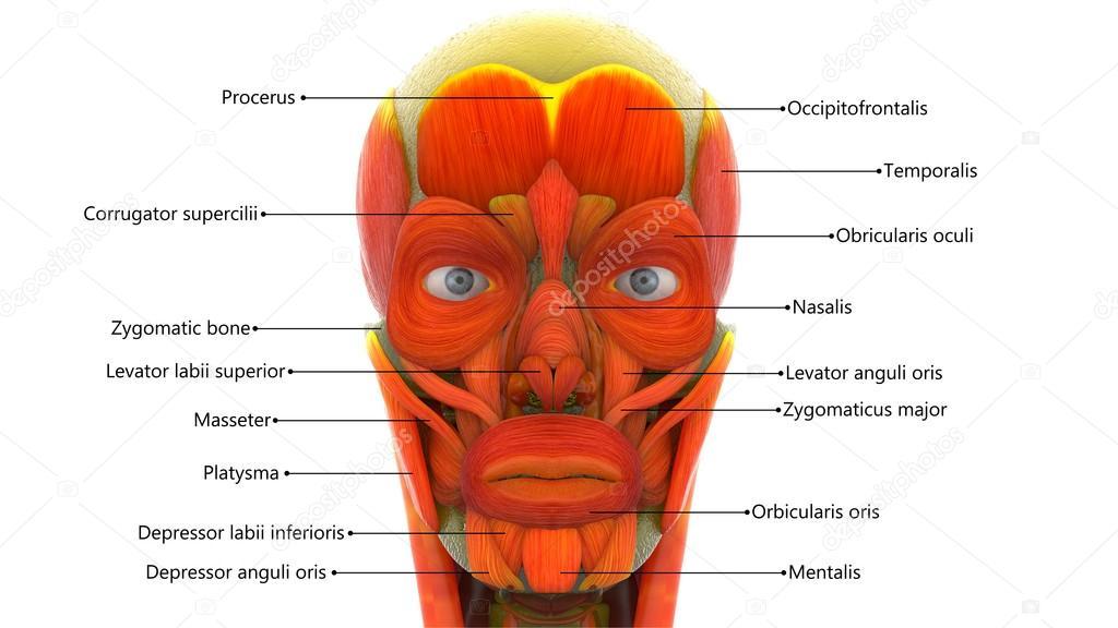 Músculos de la cara humana — Foto de stock © magicmine #100454708