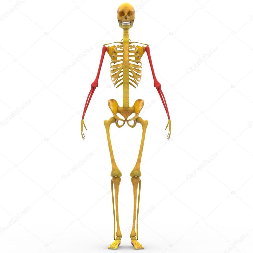Human Skeleton Humerus, Radius and Ulna bones — Stock Photo ...