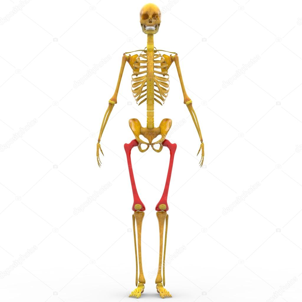 Human Skeleton Femur Bones Stock Photo Magicmine 100457748