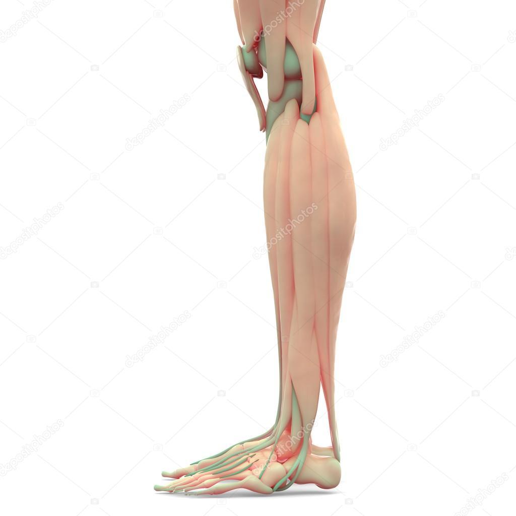 Menschliches Bein Gelenke mit Muskeln — Stockfoto © magicmine #101064708