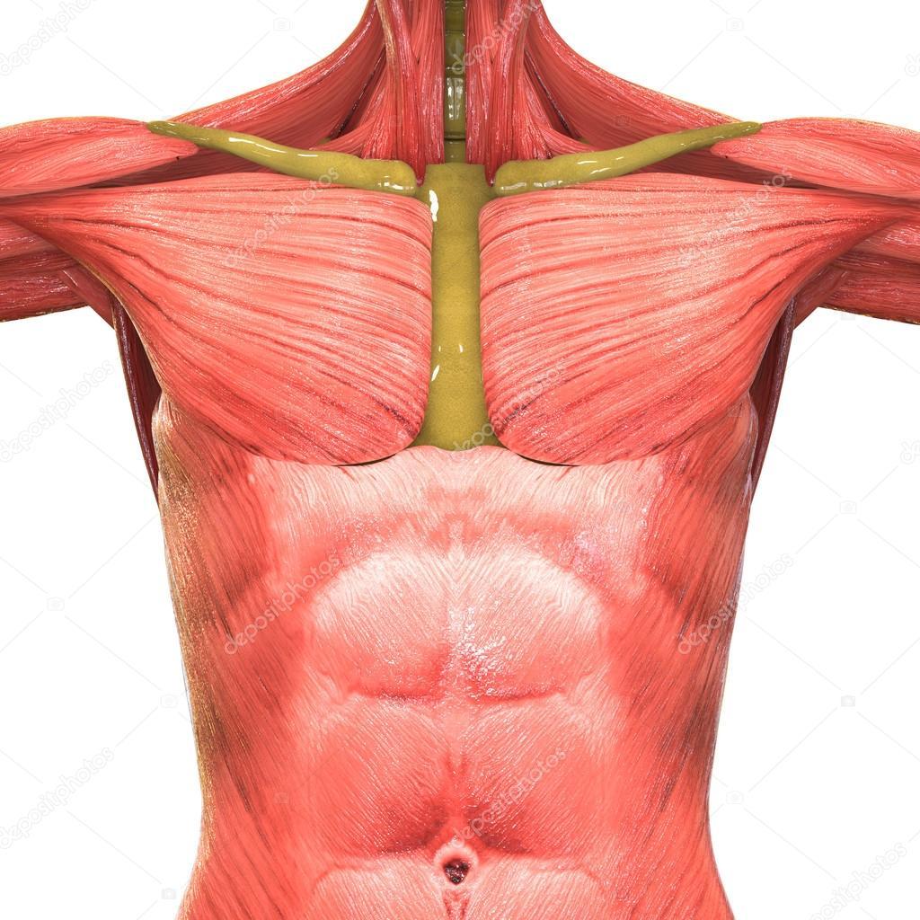 Menschlichen Muskel Körper Anatomie — Stockfoto © magicmine #113315900