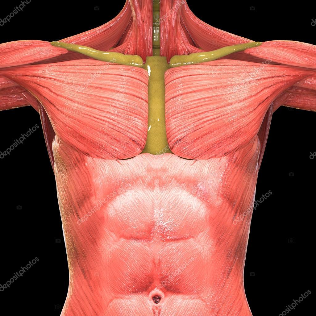 Human body organs lungs anatomy stock photo magicmine 113315950 3d illustration of human body organs lungs anatomy foto de magicmine ccuart Choice Image