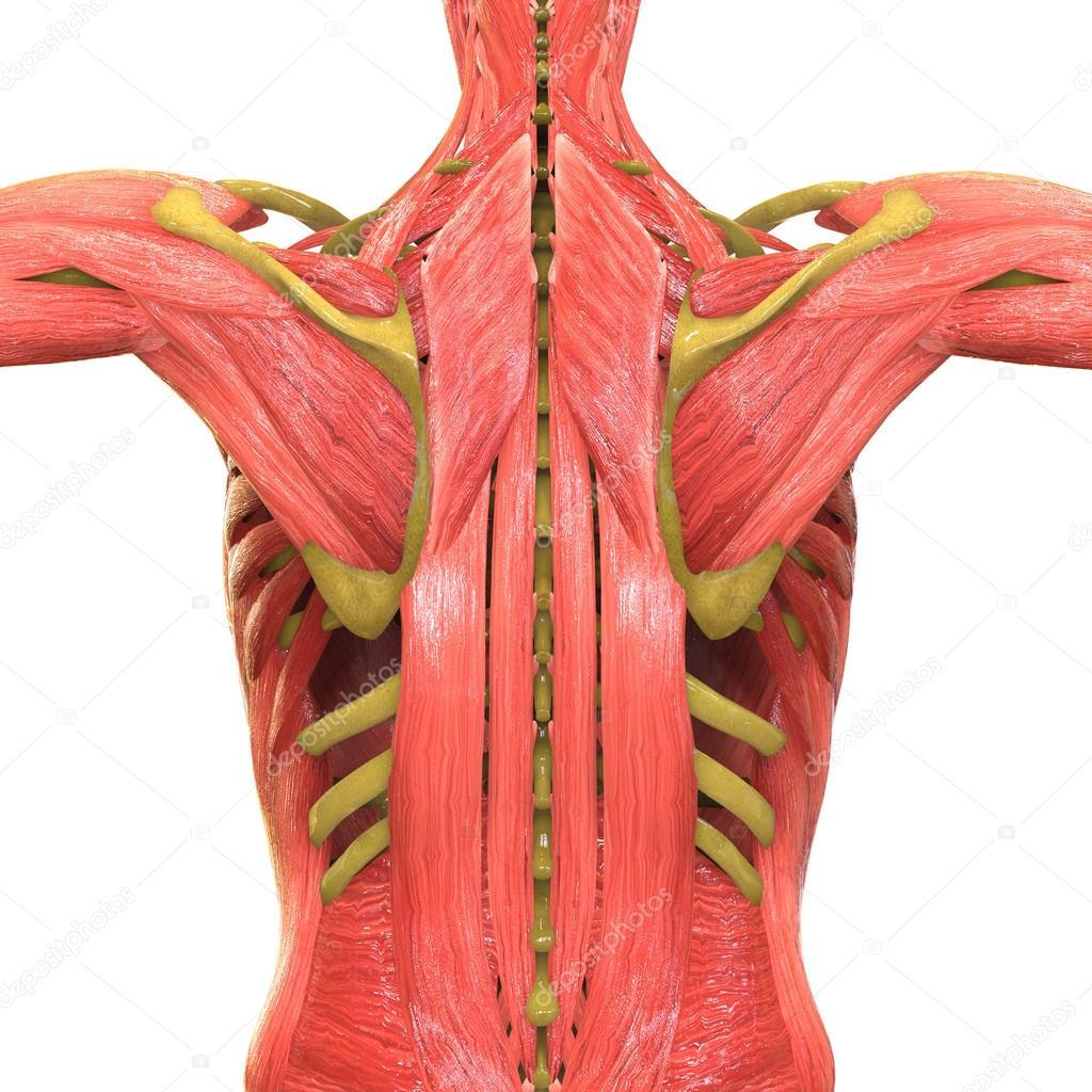 Menschlichen Muskel Körper Anatomie — Stockfoto © magicmine #113316710