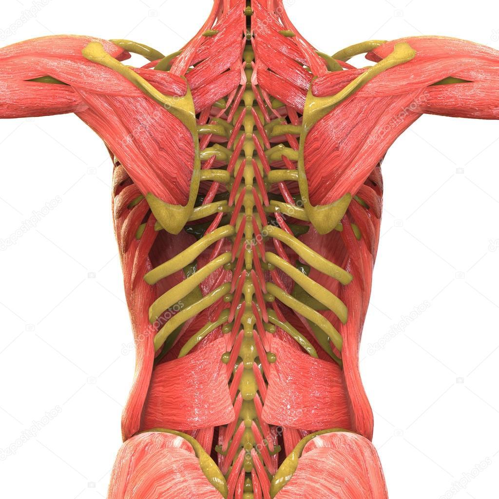 Menschlichen Muskel Körper Anatomie — Stockfoto © magicmine #113316894