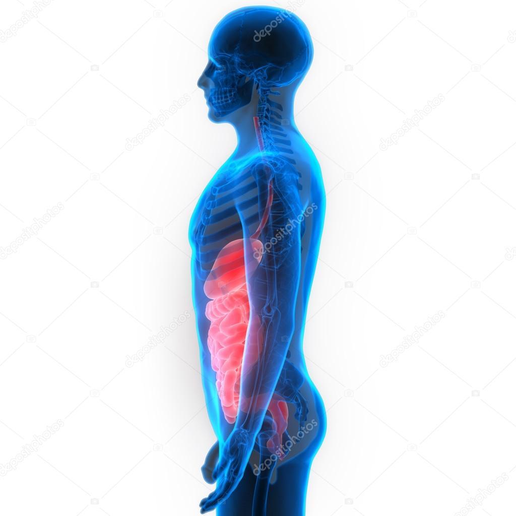 Human Digestive System Anatomy — Stock Photo © magicmine #113316986