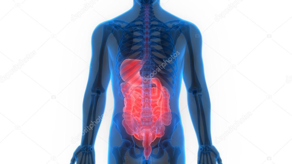 Human Digestive System Anatomy Stock Photo Magicmine 113317058