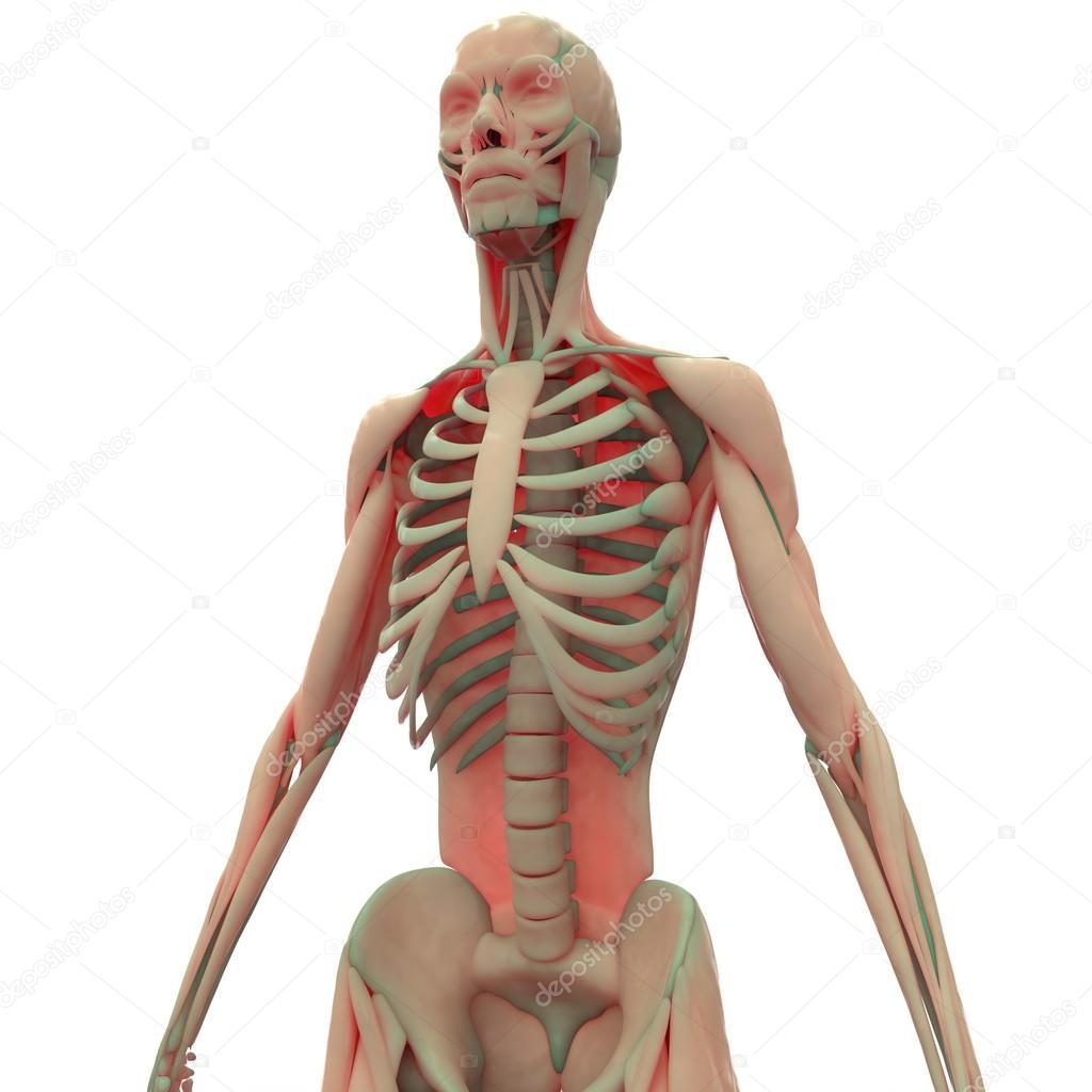 Großzügig Muskel Skelett Fotos - Anatomie Und Physiologie Knochen ...