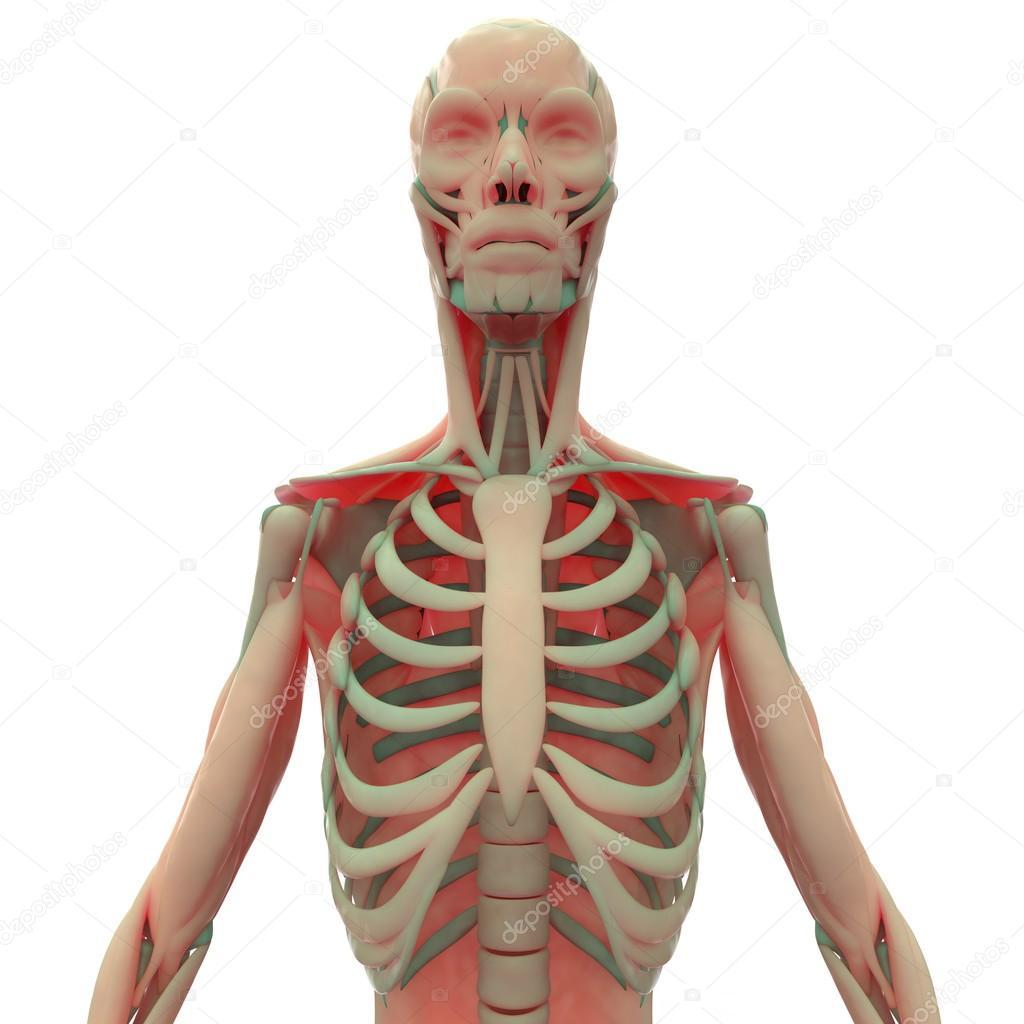Esqueleto humano con los músculos — Foto de stock © magicmine #93920058