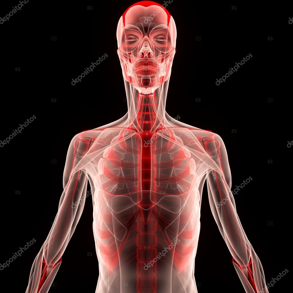 Cuerpo humano muscular con esqueleto — Fotos de Stock © magicmine ...
