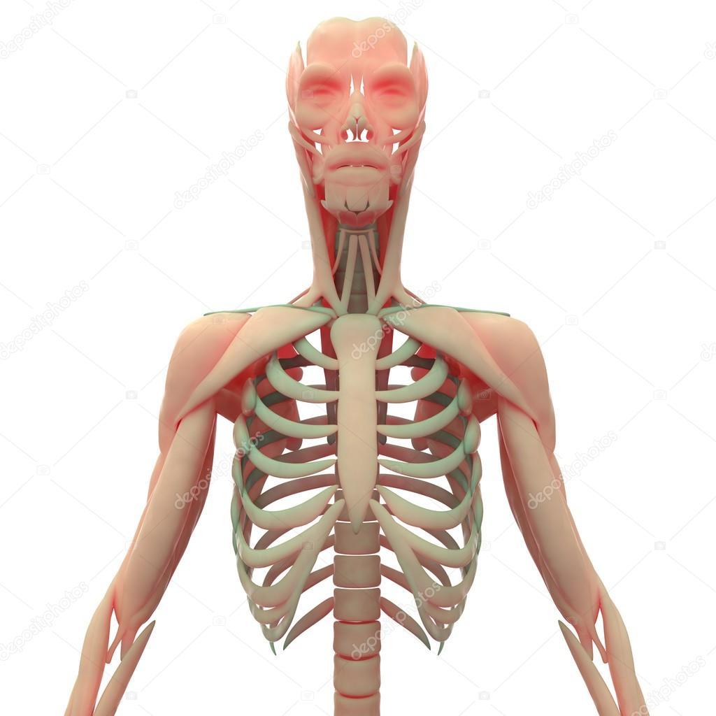Cuerpo humano muscular con esqueleto — Foto de stock © magicmine ...
