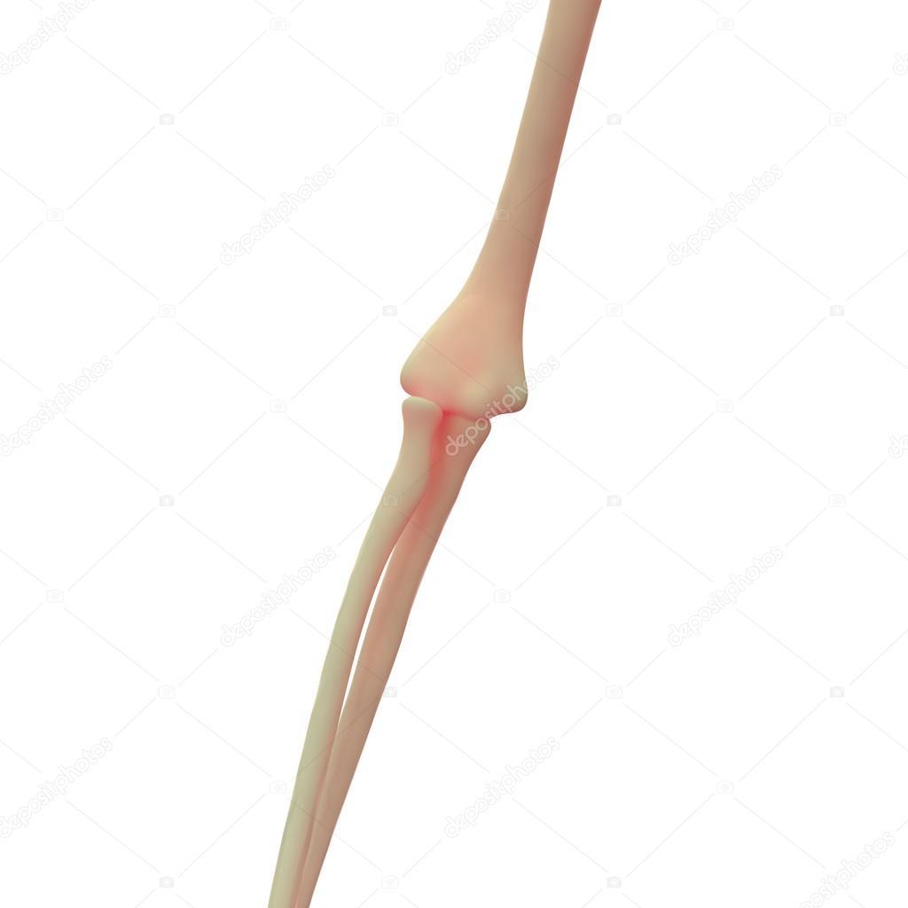 Скелет локтевого сустава на фото расстижения мышц и суставов