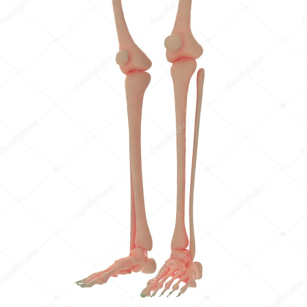 Human Skeleton Leg Jonis Stock Photo Magicmine 93920908