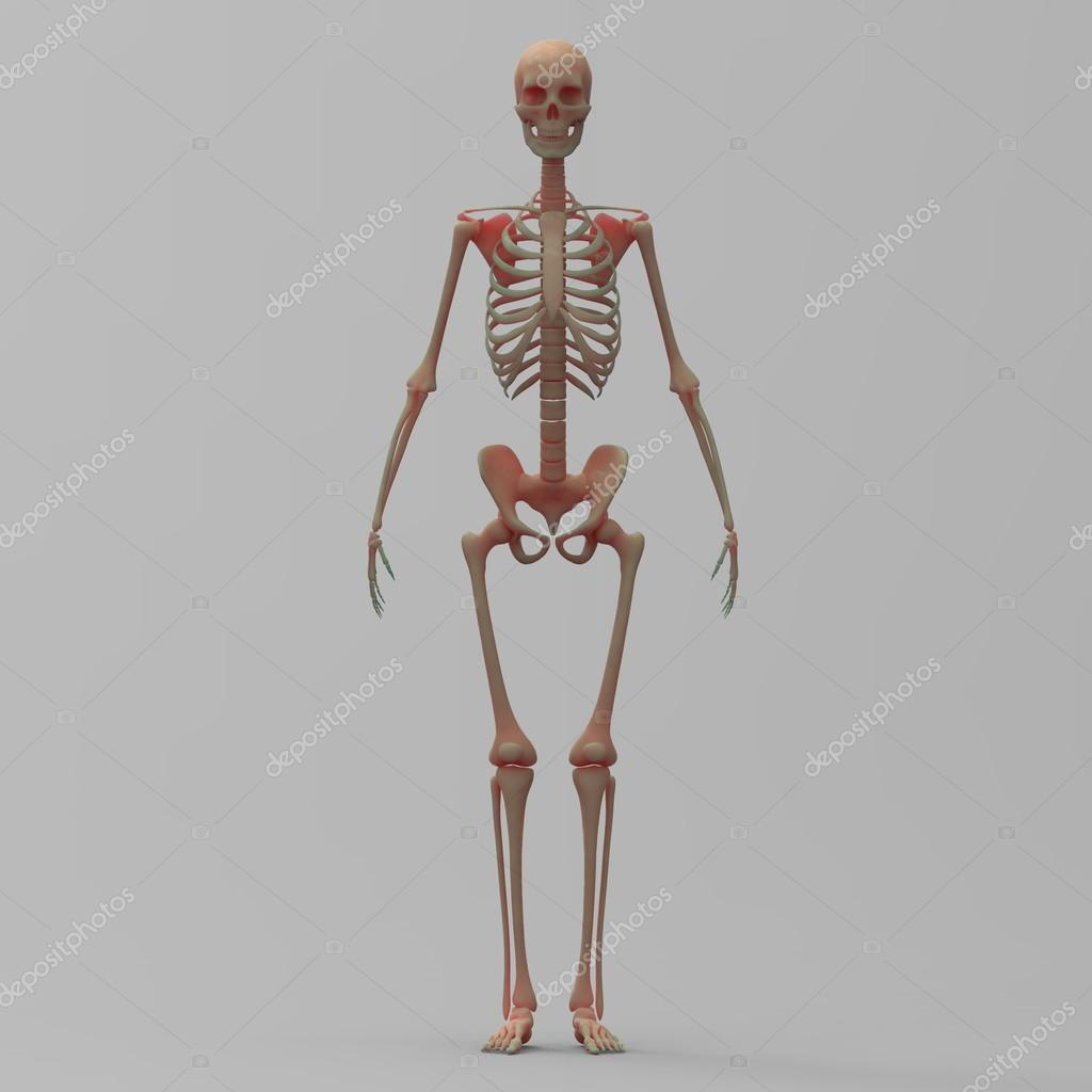 Ziemlich Anatomie Arcade Skelett System Ideen - Anatomie Ideen ...