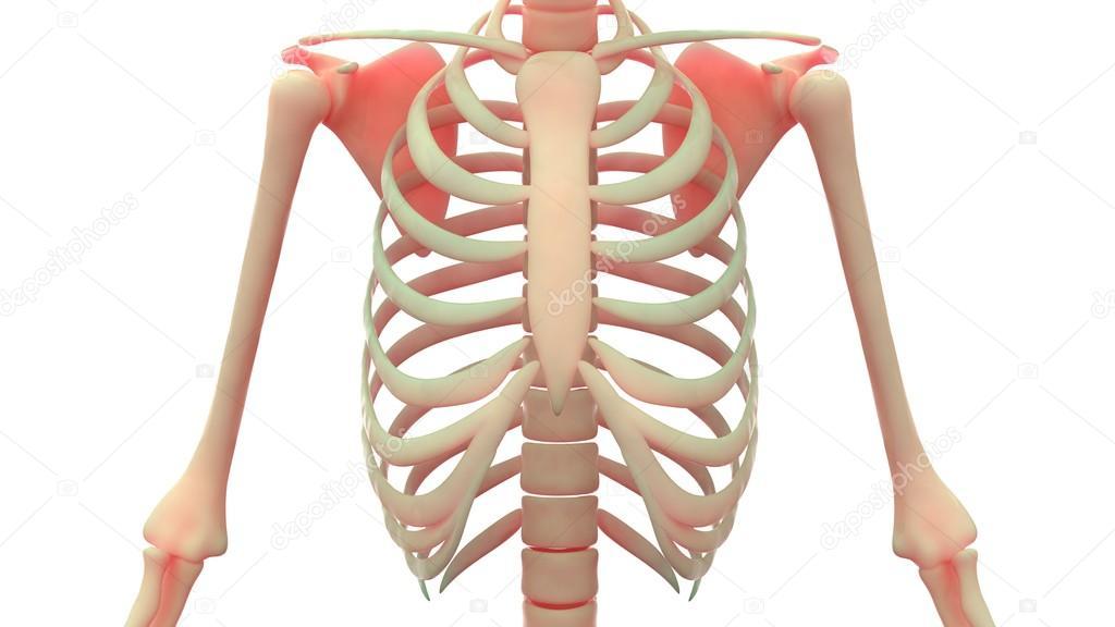 Costillas humanas con las articulaciones de la clavícula — Foto de ...
