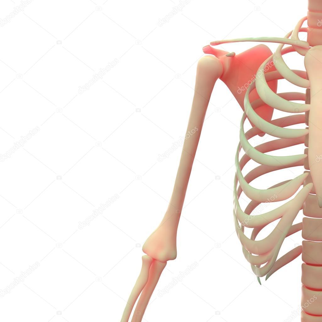 Menschliches Skelett-system — Stockfoto © magicmine #93920980