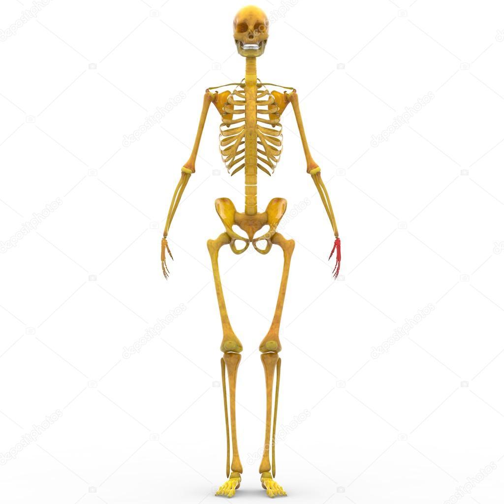 Human Skeleton Finger Joints — Stock Photo © magicmine #94078858